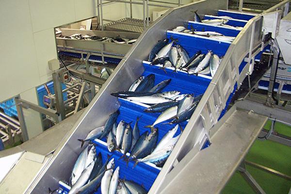 ベルトコンベアでのサバの運搬(第三魚市場A棟)