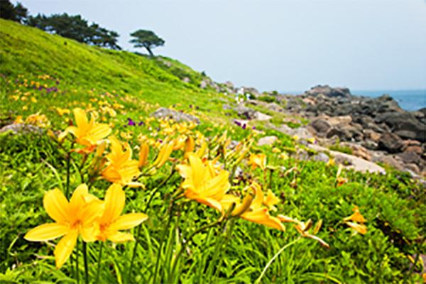 種差海岸中須賀のニッコウキスゲ