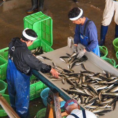 鮮魚の選別風景