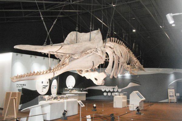 マッコウクジラの骨格標本